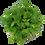 Thumbnail: Limnobium laevigatum