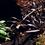 Thumbnail: Hygrophila 'Araguaia'
