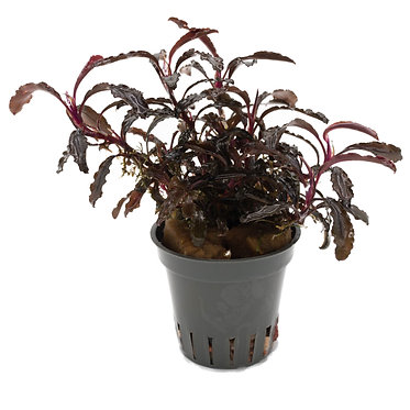 Bucephalandra sp. ''Kedagang''