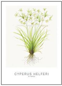 "Tropica Art Card Set ""Cyperus Helferi"""""