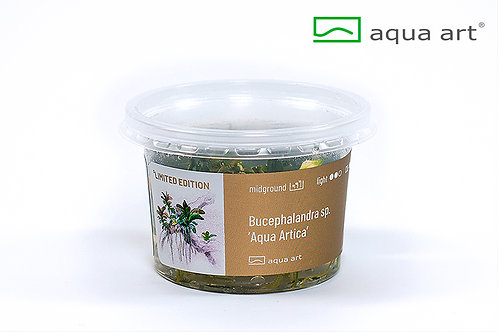Bucephalandra sp. 'Aqua Artica'