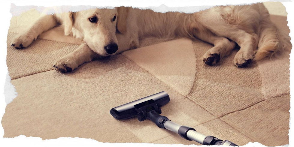 Dog lying on a carpet being vacuumed