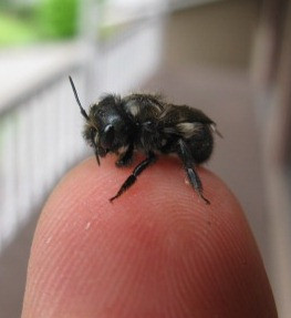 What is all this buzzzzzz about Mason Bees?