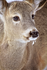 White-tailed deer after.png