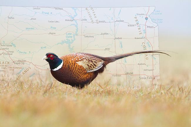 SD Pheasant.jpg