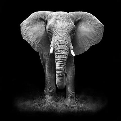 Elefante PB