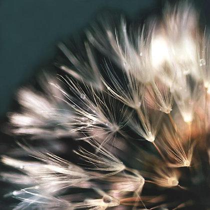 Dandelion Flower II