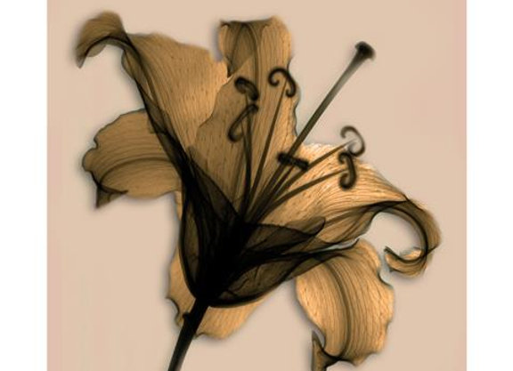X- Ray Flower II