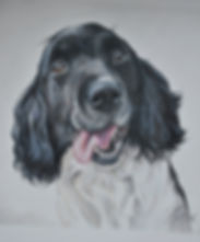Dog portrait, pet portrait, pet portrait artist, spaniel drawing, coloured