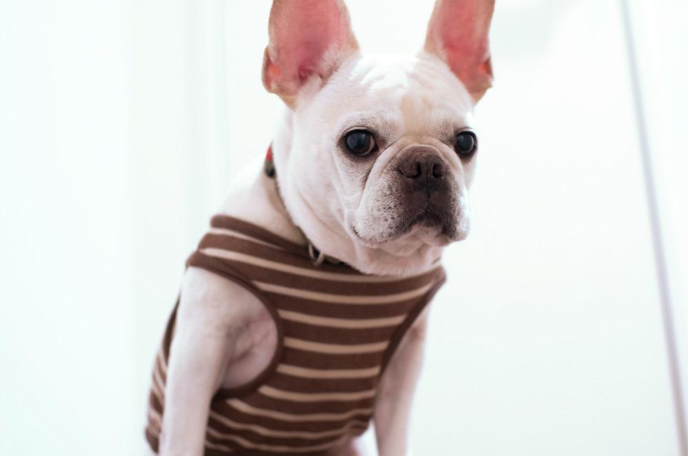 White French Bulldog wearing a sweater