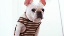 Distúrbios da orelha externa nos cães quais são e o que fazer ?