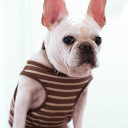 dog in stripped shirt
