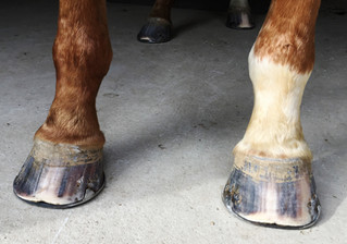 The farrier's role in a successful program