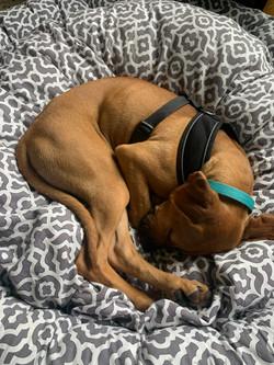 Puppy CAPTAIN IN GREY LATTICE PET PUFF.jpg