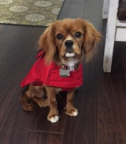 SHELDON IN RED WP DOG COAT