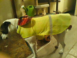 HARLOW IN YELLOW WITH RED PLAID WP DOG C