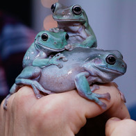 Isaac Powell's Frogs