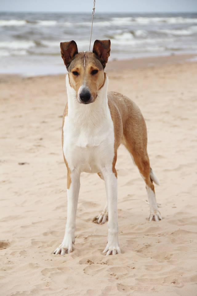 Clingstone`s smooth collie