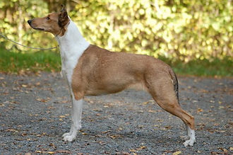 clingstones smooth collie