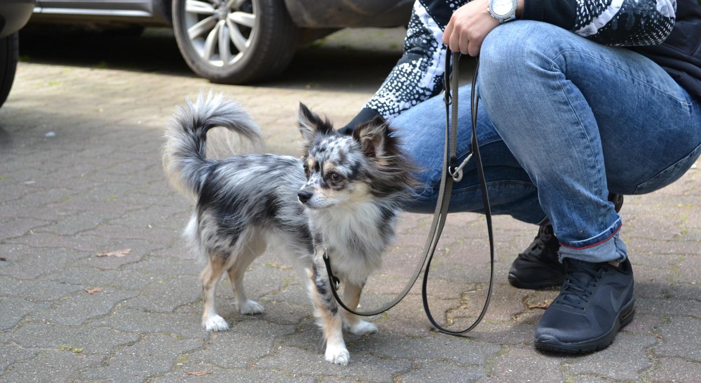Chihuahua Lennox beim Mantrailing