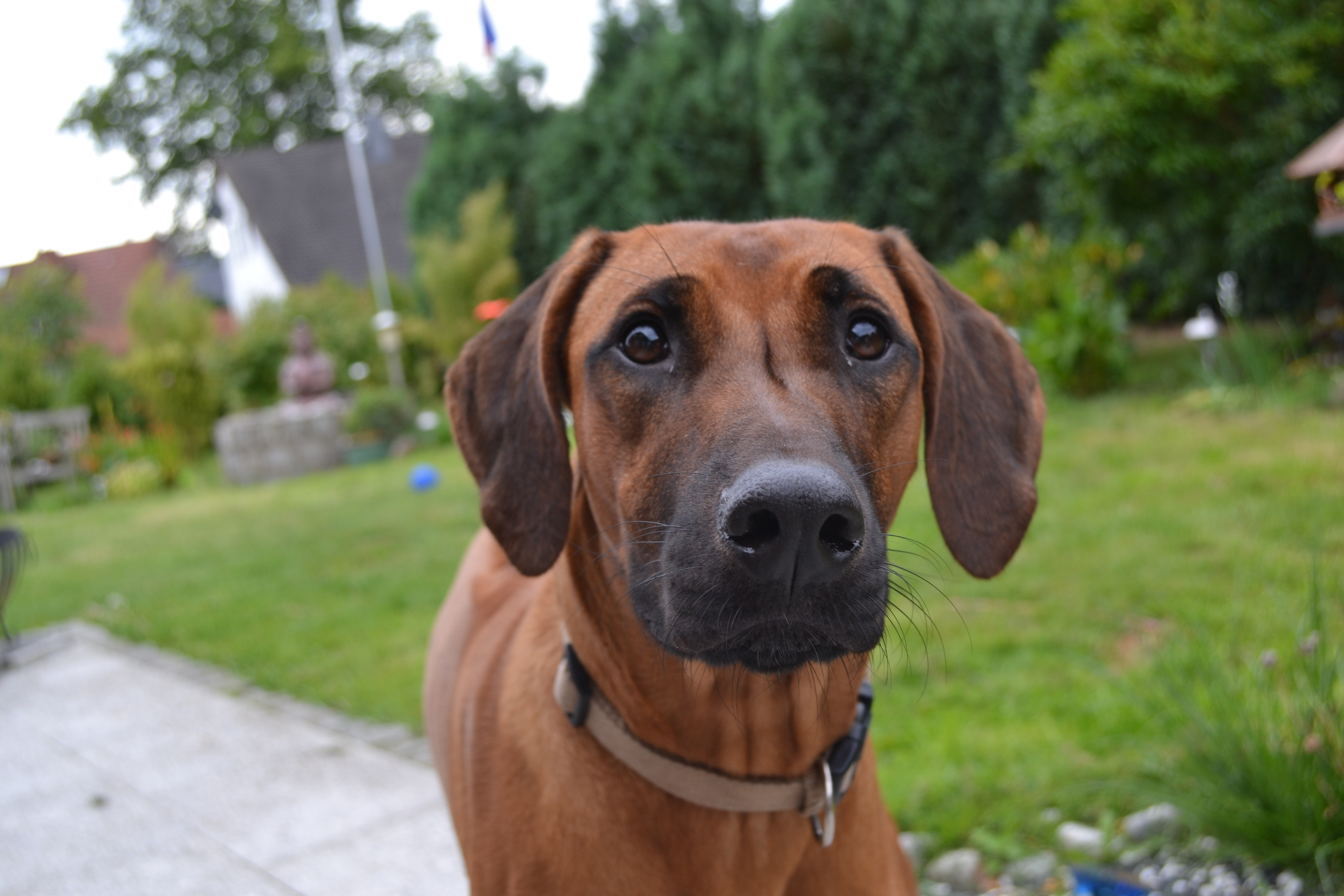 Ridgeback Ceyla Hundepension