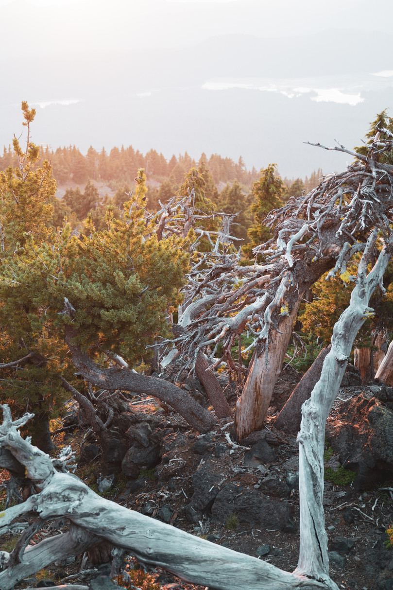 Mt. Bachelor Trees
