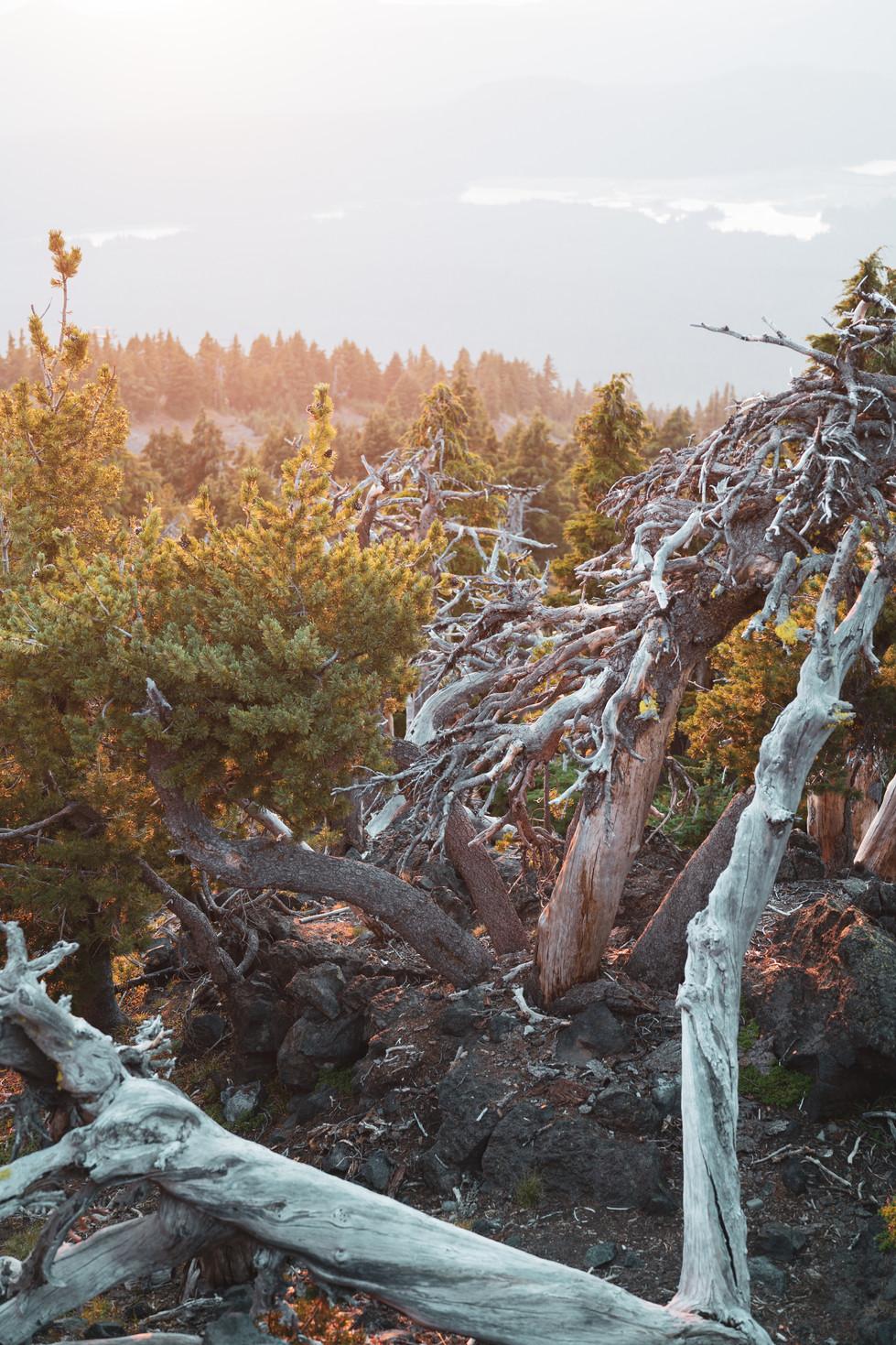 Mt. Bachelor Trees