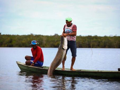 Pirarucu de manejo de Mamirauá recebe registro legal de Indicação Geográfica no INPI.