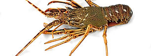 West Coast Crayfish Tails