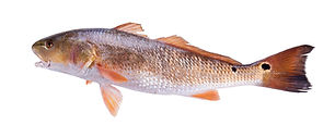 Farmed Red Drum Bass