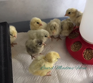 day old bantam ams 3