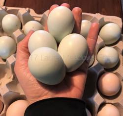 bantam am eggs