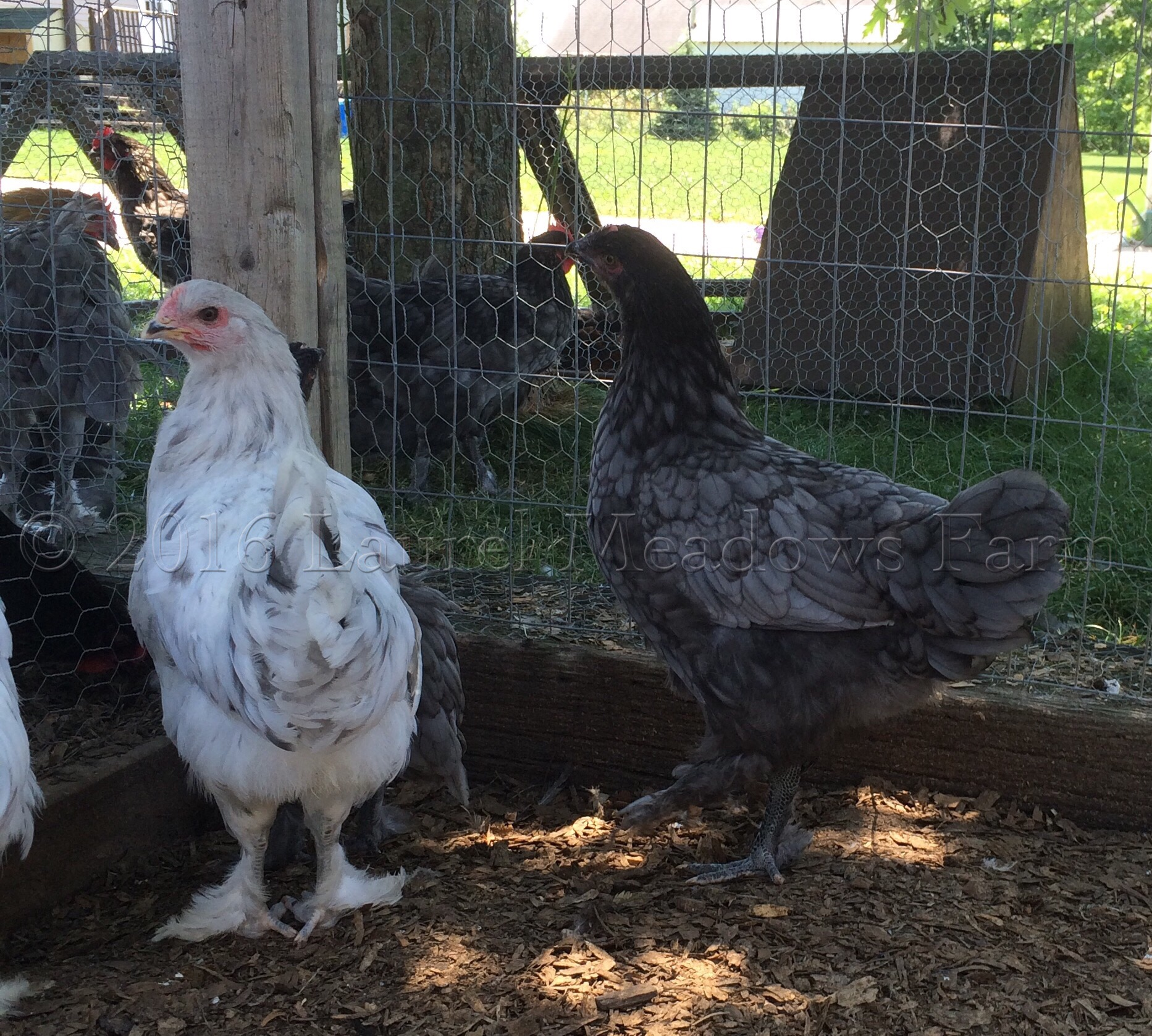 Splash, Blue Marans pullets