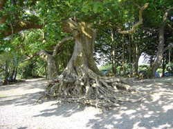 Be awed by the roots at Llangower