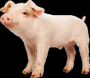 281-2815050_domestic-pig.png