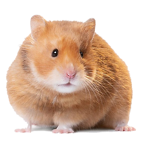 Hamster-PNG-Image.png