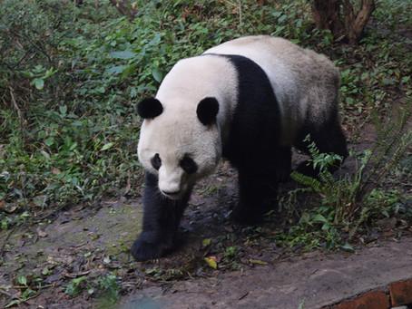 Pandas and Habitat Fragmentation
