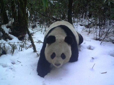 1,864 Giant Pandas Left in the Wild