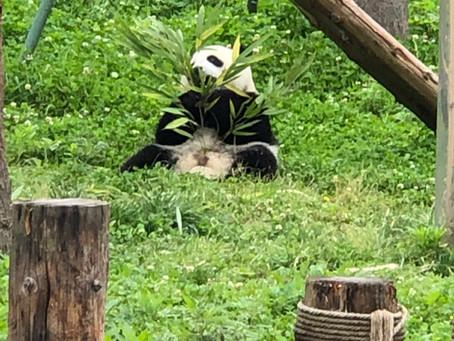 Pandas Love Bamboo