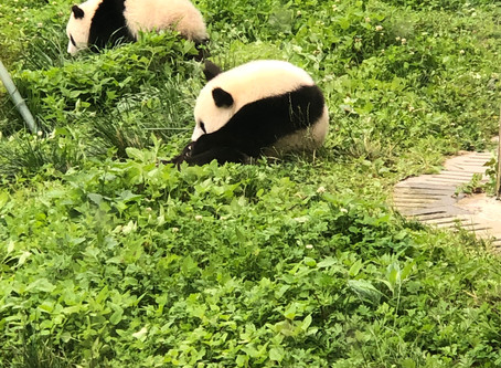 Are Giant Pandas Still Endangered? NO