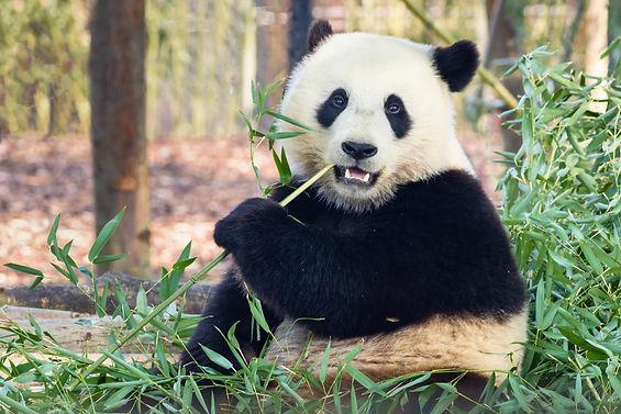 Giant panda (Ailuropoda melanoleuca) or