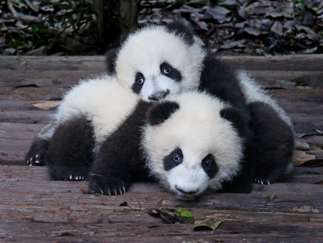 3 Weird Facts About Baby Pandas