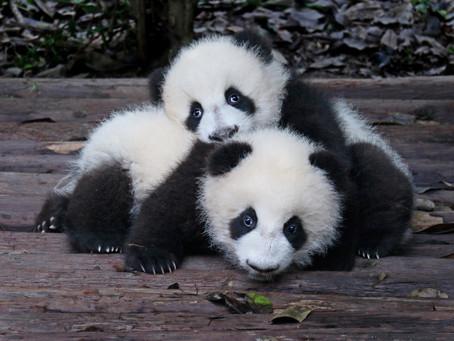 3 Weird Facts About Baby Pandas