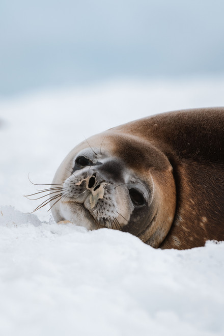 snotty seal.jpg