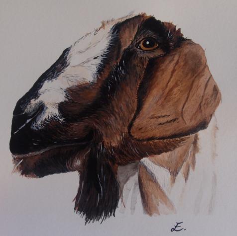Fiona the goat