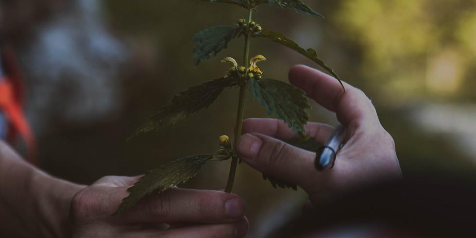 Initiation aux plantes sauvages comestibles et médicinales - Campagne