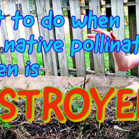 What to do when your native pollinator yarden is DESTROYED