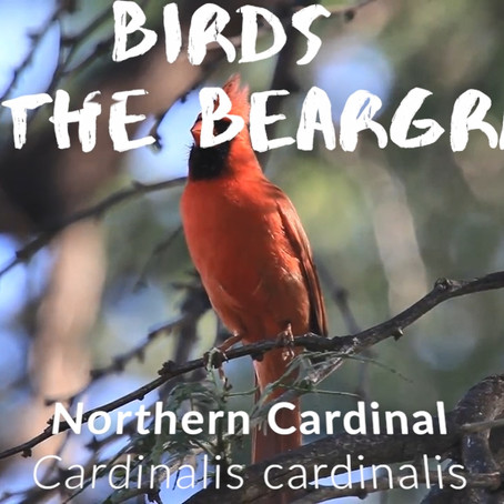 Birds on the Beargrass: Northern Cardinal [Isolation Vacation]