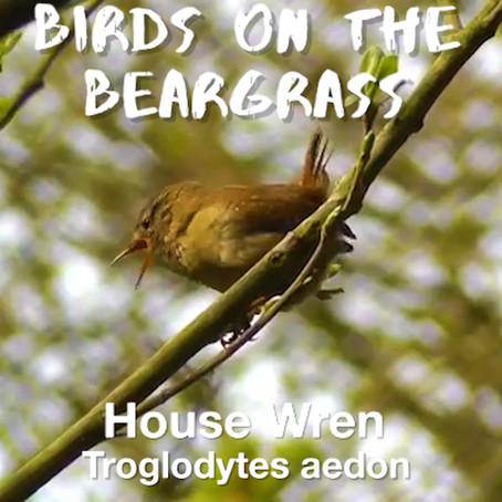House Wren: Birds on the Beargrass