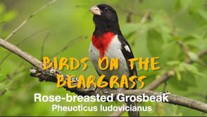 Rose-breasted Grosbeak: Birds on the Beargrass